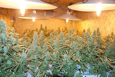 Marihuana Lab(1)